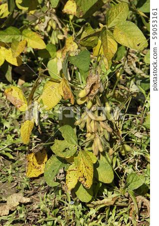 Soybean field 59053161