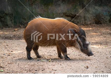 Red river hog (Potamochoerus porcus) 59054809