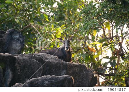 Sumatran Serow  resting on a rock 59054817