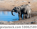 Two Male Elephants Drinking from a water hole. 59062589