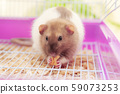 Rat eating cookies in its home cell 59073253
