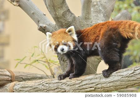 Red panda 59085908