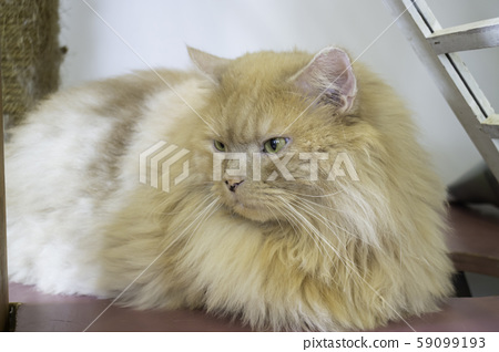 Domestic cat chilled in coffee shop 59099193