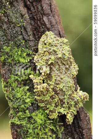 Strange frog Ramphastos ambiguus swainsonii 59099836