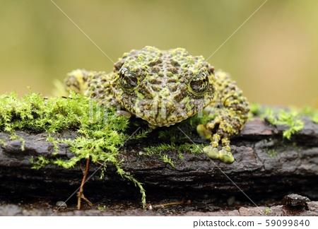 Strange frog Ramphastos ambiguus swainsonii 59099840
