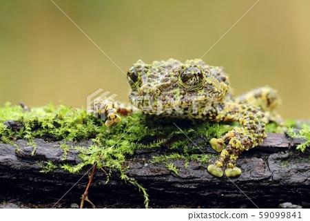 Strange frog Ramphastos ambiguus swainsonii 59099841