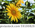 Close-up photo of a sunflower in a field with a 59100826