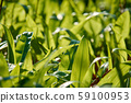 Closeup view of green bear garlic leaves in the 59100953