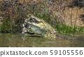 Nile crocodile in Kruger National park, South 59105556