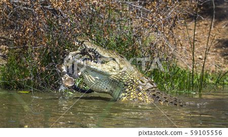 Nile crocodile in Kruger National park, South 59105556