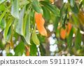 Pong pong or green and orange leaf 59111974