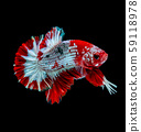 Betta fish  red hellboy in the aquarium  59118978