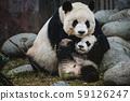 Giant Panda 59126247