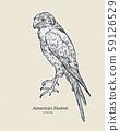 The American kestrel (Falco sparverius), hand draw 59126529