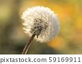 Dandelion in frost, hoarfrost on fluff of dandelion. Dandelion fluff in winter. 59169911