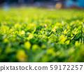 Green grass soft focus macro photo 59172257