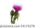 burdock flower isolated 59174278
