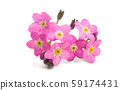pink forget-me-nots isolated 59174431