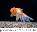 Goldfish 59178160