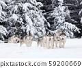 dog sled race with huskies 59200669
