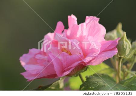 Confederate Rose Flower hibiscus mutabilis. Autumn 59205132