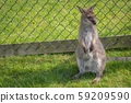 Small kangaroo in the grass in front of a fence 59209590