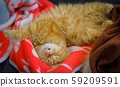 Beautiful big fluffy red Maine Coon in the hands 59209591