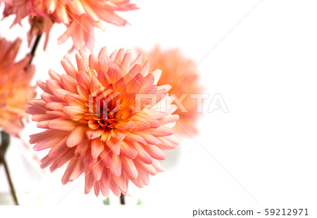 Dahlia flower isolated on white 59212971