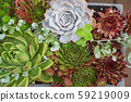 nice succulents in the pot 59219009