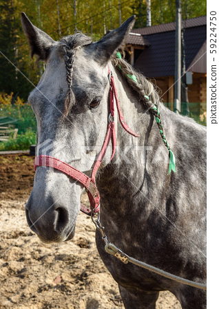 Dappled gray horse with pigtails 59224750
