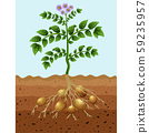 Potatoes planting in the ground 59235957