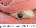 Nose Maltese dog under blanket 59247535