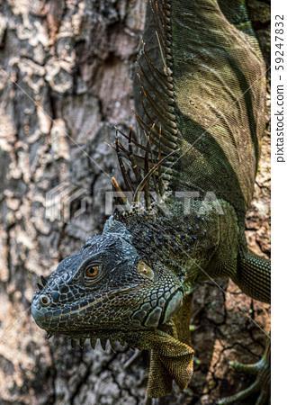 綠鬣蜥 59247832