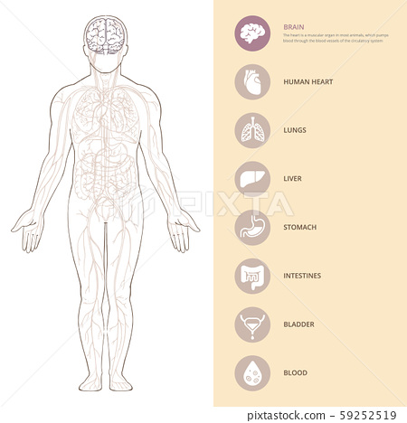 Human body anatomy infographic with brains of the structure of human organs. 59252519