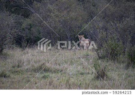 Lion lioness emerged from a spear 59264215