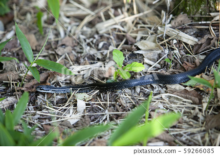 snake 59266085