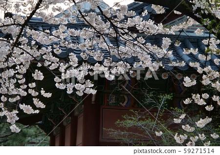 봄 덕수궁 59271514