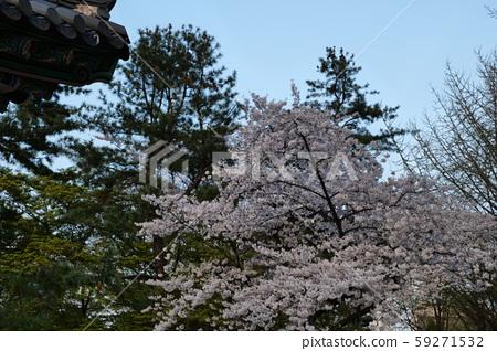 봄 덕수궁 59271532