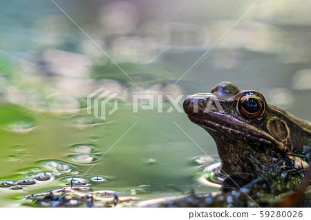 牛蛙 59280026