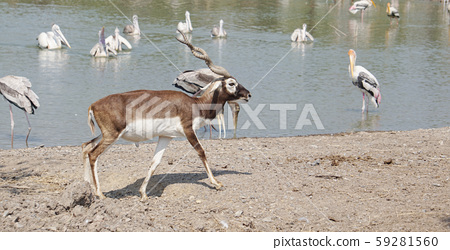 The Blackbuck deer standing in front of the lake. 59281560