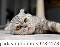 So cute scottish fold cat. 59282478