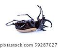 Rhinoceros beetle, Rhino beetle, Hercules beetle, 59287027