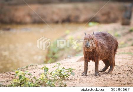 Hydrochaeris hydrochaeris - Capybara in the 59296667