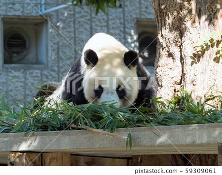 王子動物園的大熊貓 59309061