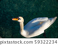 Beautiful white swan on the shores of Lake Garda, Verona Italy.  59322234