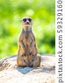 Meerkat, Suricata suricatta, sitting on the rock 59329160