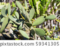 Green pads on a prickly pear cactus. Opuntia, 59341305