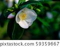 White camellia 59359667