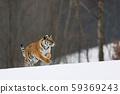 Siberian tiger in wild winter nature birch tree in 59369243