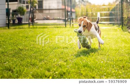 Beagle dog fun in garden outdoors run and jump 59376909